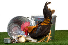 Rooster with dustbins and garbage Royalty Free Stock Photo