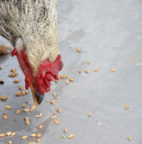 Rooster eating wheat seeds Stock Photos
