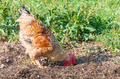 Rooster eating Royalty Free Stock Photo