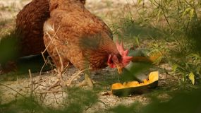 Rooster Eating Fruits in Garden stock photos
