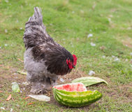 Rooster eating watermelon Royalty Free Stock Image