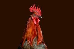 rooster för 2 profil arkivfoto