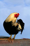 rooster för arucauna 0906 Royaltyfri Fotografi