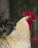 Rooster in the farm Stock Images