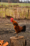 Rooster. Farm animals in the countryside Stock Photography