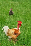 Rooster in the farm of Canon castle in Normandie Stock Image