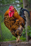 Rooster on the farm. Stock Photos