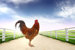 Rooster in the farm in the Early Morning Royalty Free Stock Photography
