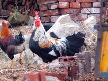 Rooster in a farm stock photos