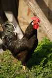 Rooster. Rooster on a farm, summer Royalty Free Stock Images