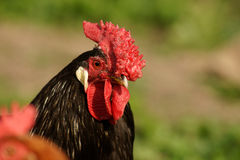 Rooster. Rooster on a farm, summer Stock Photos