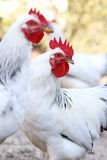 Rooster on the farm yard Royalty Free Stock Image