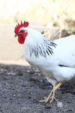 Rooster on the farm yard Royalty Free Stock Photo
