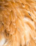 Rooster Feather background. fine texture Royalty Free Stock Photo