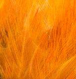 Rooster Feather background. Fine texture Stock Photos