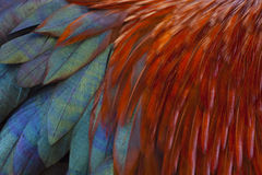 Rooster Feathers. Brightly coloured feathers of a rooster as a background texture stock images