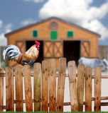 Rooster on fence. A large rooster on a fence around a barnyard with a small cow royalty free stock image