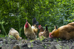 Rooster and a few chickens provide food in the midst of greenery Stock Image