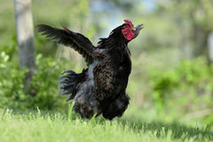 Rooster flap. Photograph of a rooster flapping its wings stock photo