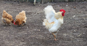 Rooster flaps its wings. White rooster flaps its wings in the courtyard stock image