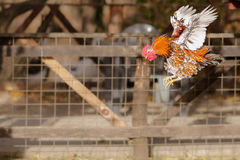 Rooster flying. Chicken rooster flying vertebrate chicken white domesticus cockerel wings brahma cut bird stock images