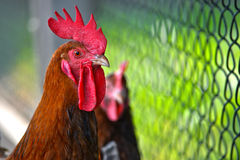 Rooster on free range poultry farm Royalty Free Stock Image