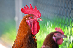 Rooster on free range poultry farm Royalty Free Stock Photos