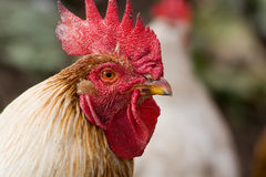 Rooster, Gallus domesticus Royalty Free Stock Images