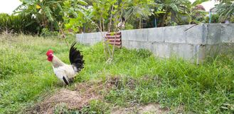 A rooster in a garden Royalty Free Stock Photo