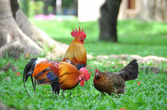 Rooster in the garden. Rooster life in the garden Stock Photos