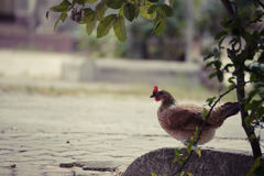 Rooster in green field. Royalty Free Stock Photography