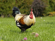 Rooster on green grass Royalty Free Stock Photography