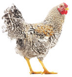 Rooster grey Royalty Free Stock Images