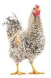 Rooster grey Stock Photography