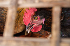 Rooster in a grid behind the bars. Stock Photos