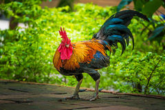 Rooster on the ground Royalty Free Stock Photography