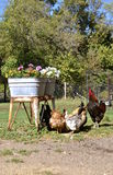 Rooster guards hens Stock Photo