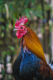 A rooster Royalty Free Stock Image