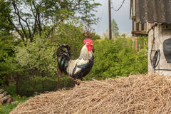 Rooster on a haystack Stock Photo