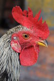 Rooster head Royalty Free Stock Images