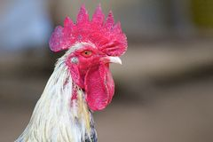 Rooster head Stock Images