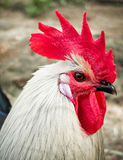 Rooster Head Stock Photo