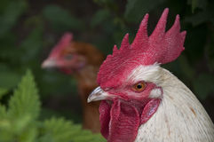 Rooster head with hen in background Stock Photo