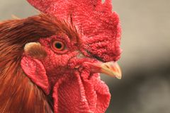 Rooster head from home farm Stock Image