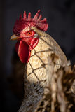 Rooster head red eye blur Stock Photo