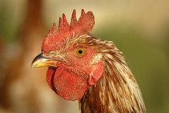 Rooster Head Shot royalty free stock image