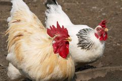 Rooster and hen Royalty Free Stock Photo