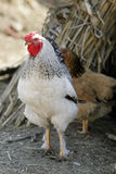 Rooster and hen Stock Photography