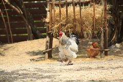Rooster with  hen Royalty Free Stock Image