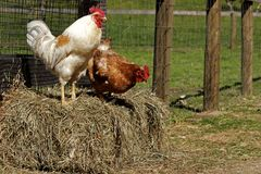 Rooster and hen on bale of hay Royalty Free Stock Photos